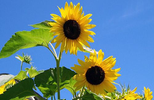 Sonnenblume_Seniorennachmittage_HP